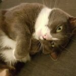 TTouch en Bachbloesems voor agressieve en onzindelijke kat.